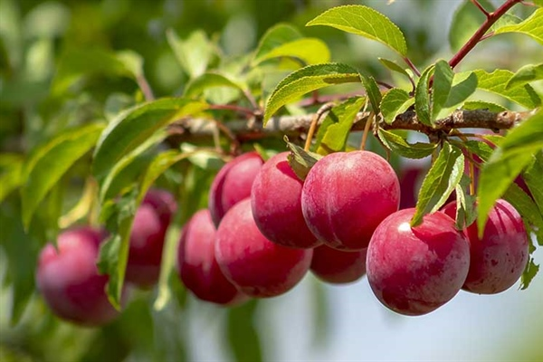 2020 Fruit Trees are...