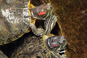 Red Eared Turtles Care Guide