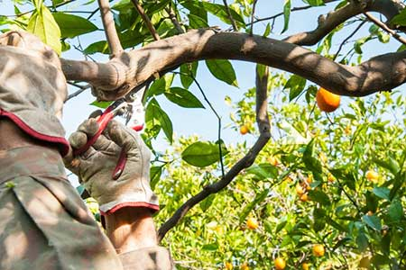 Pruning Citrus Trees