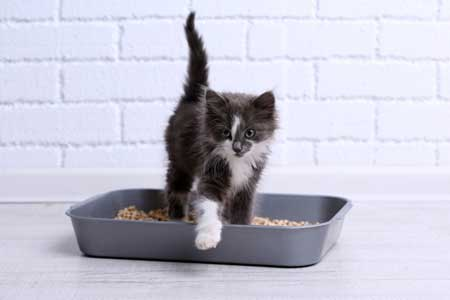 Kitten with litter tray